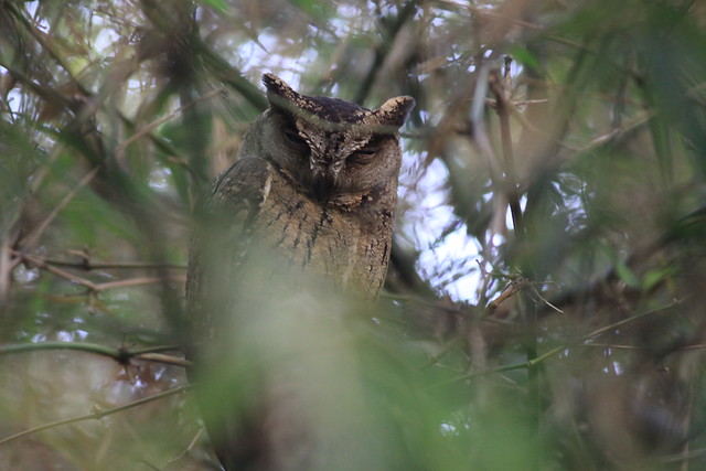 Collared Scops Owl (Otus bakkamoena), Marinha Dourada Hotel, Arpora, Goa. 5th February 2016.