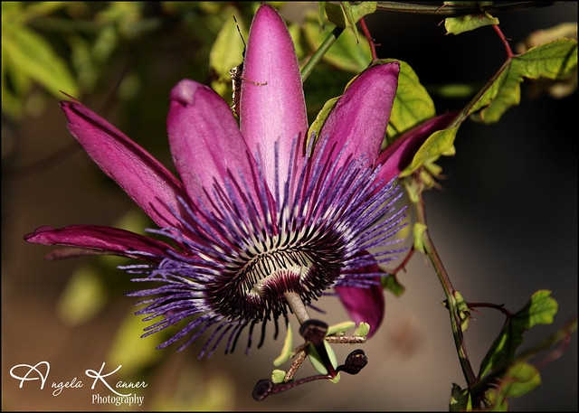 Passion Flower and Friend...