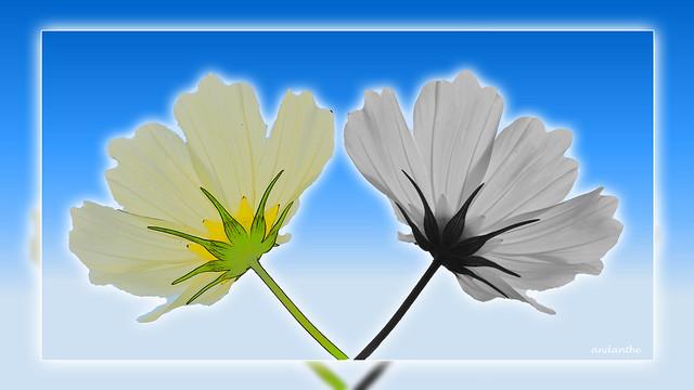 Twinflowers