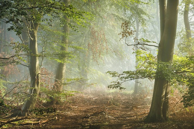 Trees in morning mist