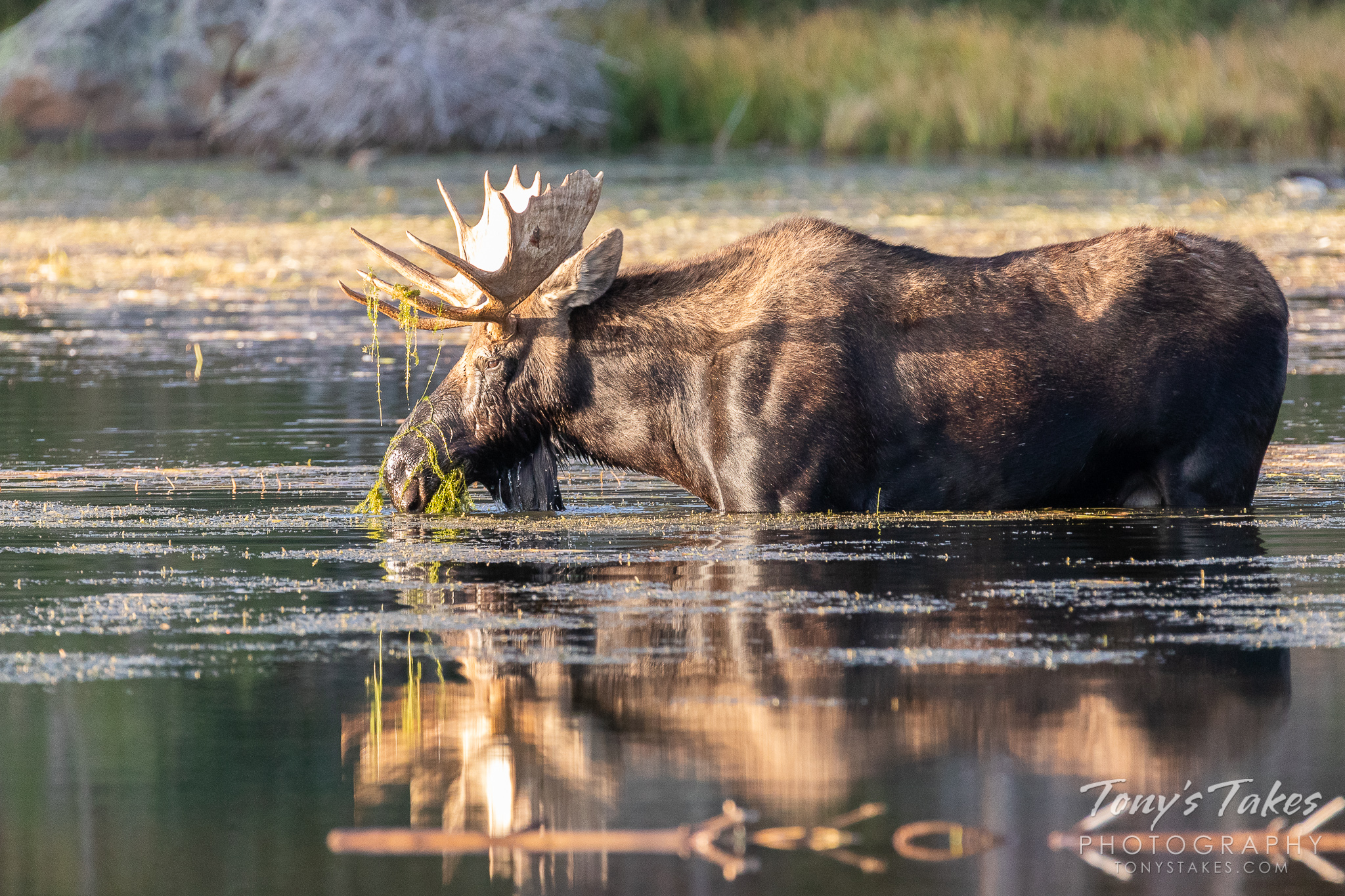 A moose bull grazes on lake plants in Rocky Mountain National Park. (© Tony's Takes)