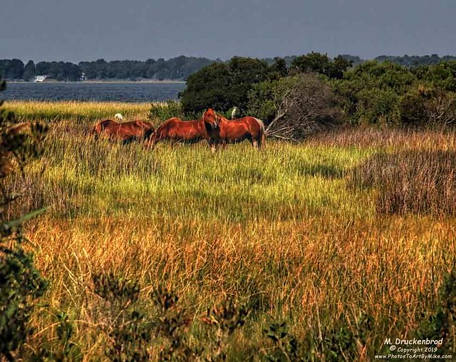 Grazing Wild Ponies in the brackish marshes of Assateague Island MD