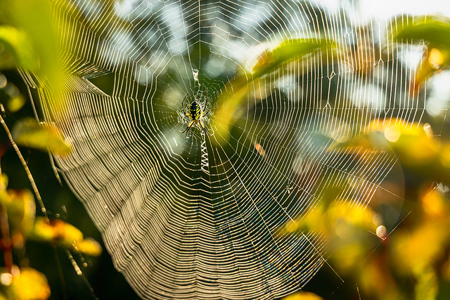 Black and Yellow Orb Weaver Spider