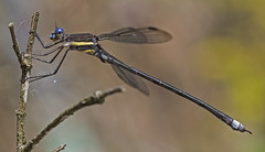 Great Spreadwing Damselfly - Archilestes grandis