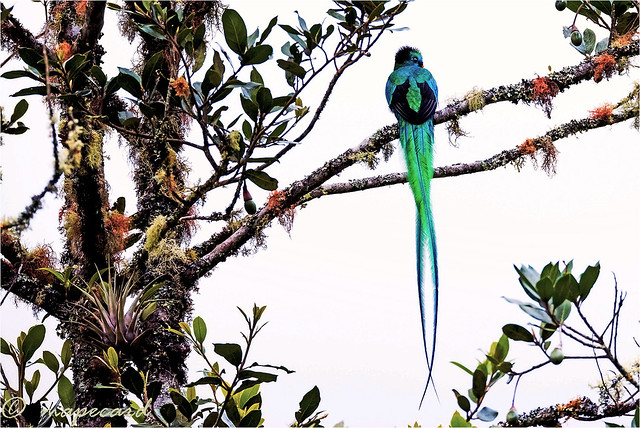 Resplendent Quetzal (Pharomachrus mocinno), in nature.