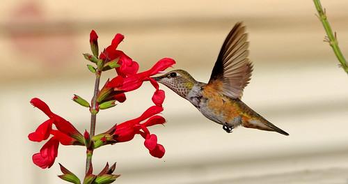 Rufous Hummingbird (Selasphorus rufus) immature.  Albuquerque, New Mexico, USA.