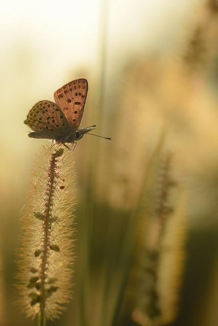 Papillon Azuré.