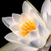 White LP Water Lily 3-0 F LR 9-11-19 J097