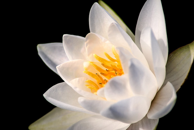 White LP Water Lily 3-0 F LR 9-11-19 J097