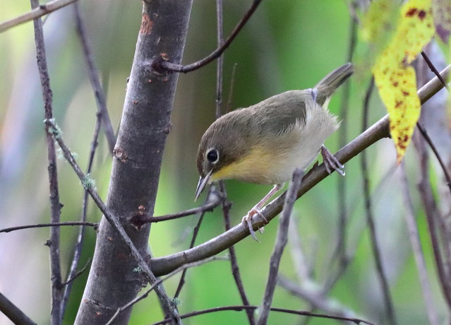 COMMON YELLOWTHROAT Warbler - female - At Circle B Bar Reserve, Lakeland, Florida