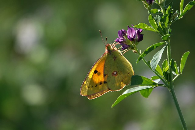 yellow luzerne butterfly