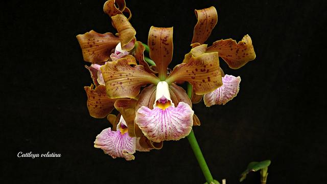 Cattleya velutina # 1
