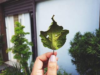 Dry leaf of hibiscus 🌺🍃
