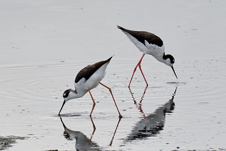 DSC_9909 Black-necked Stilts, Charleston Slough