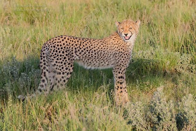Cheetah Cub - Acinonyx jubatus
