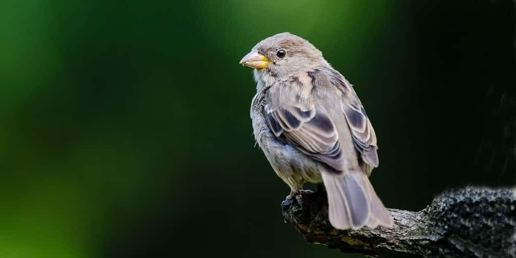 oiseaux-perte-canada-USA-catastrophe-écologique