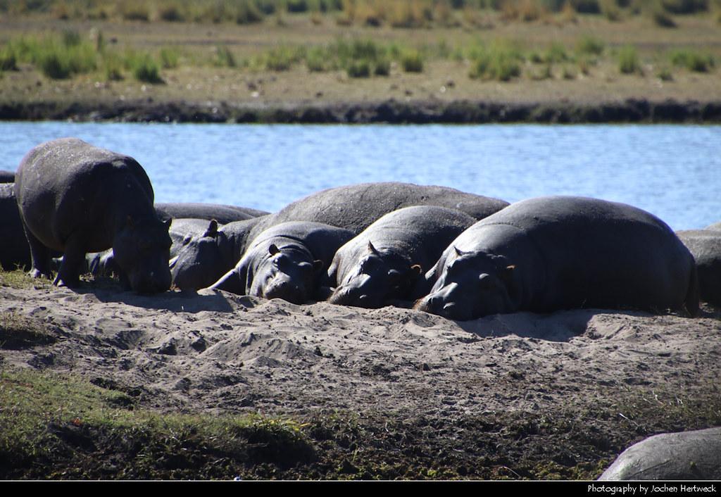 Hippos, Chobe NP, Botswana