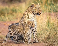 Leopard mother and cub in rapt attention