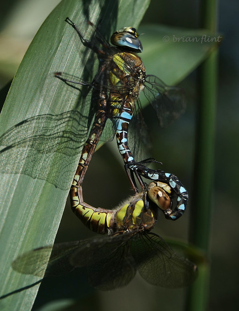 Migrant Hawker coupling