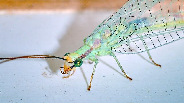 Porch-light Visitors - Green Lacewing