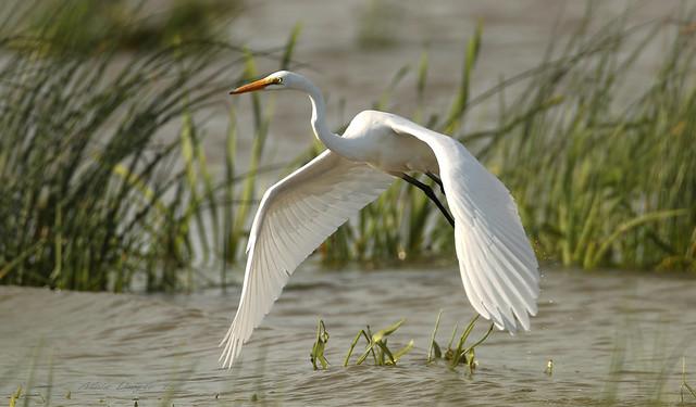 Grande aigrette \ Great Egret