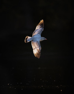 Juvenile Callifornia Gull