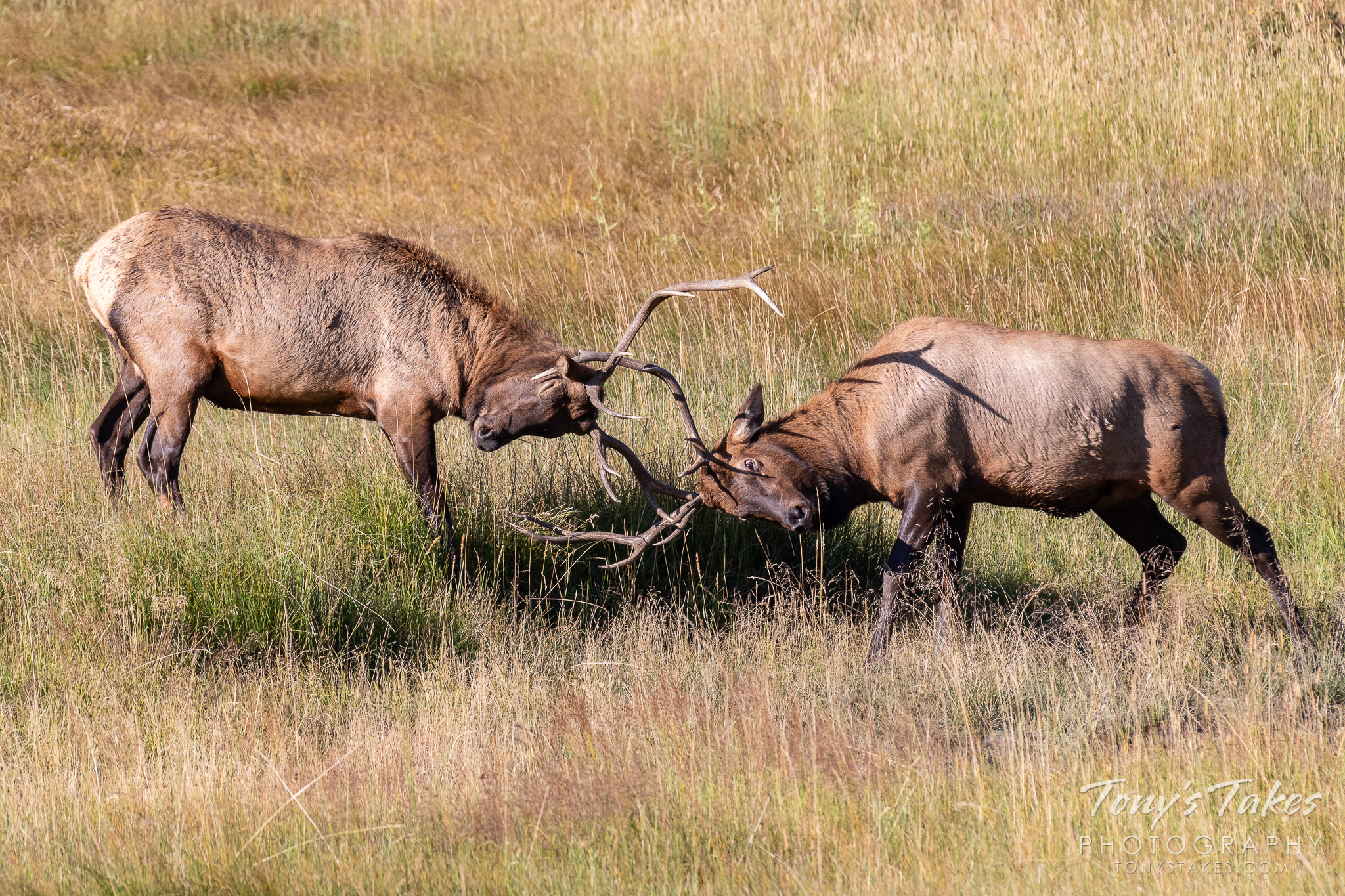 Two elk bulls test each other as the annual rut ramps up. (© Tony's Takes)