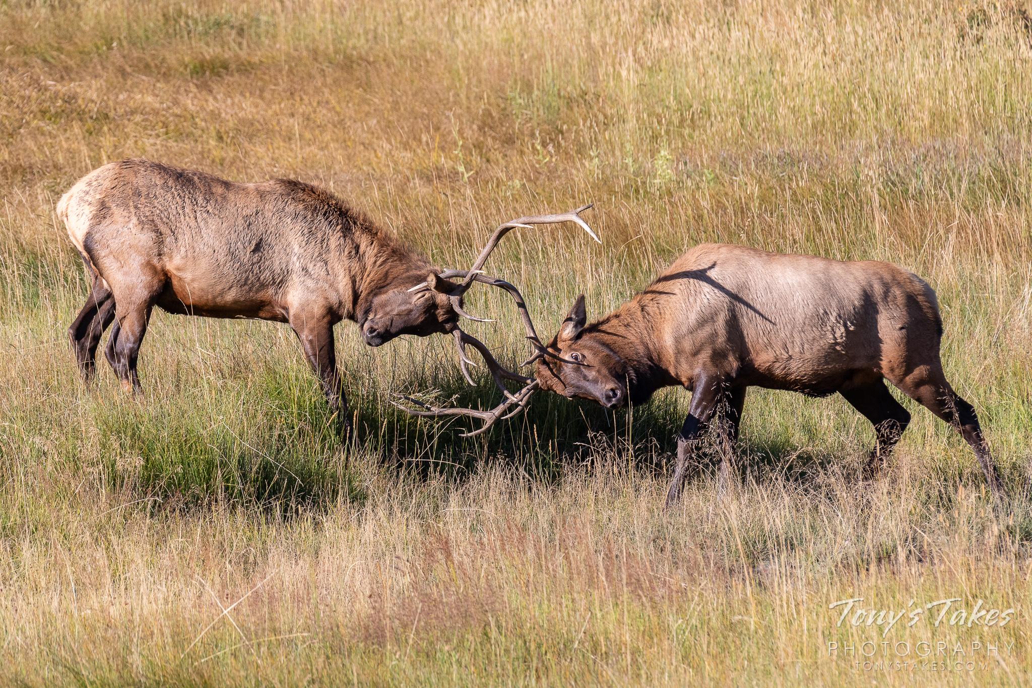 Elk bucks battle