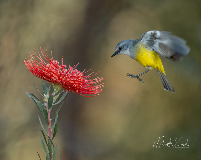 Western yellow robin.