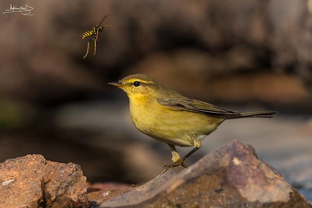 Felosa-musical / Willow warbler (Phylloscopus trochilus)