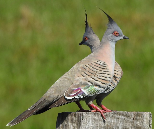 Crested Pigeon Pair