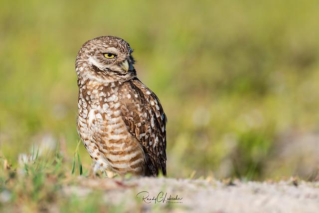 Burrowing Owl - Athene cunicularia | 2019 - 25
