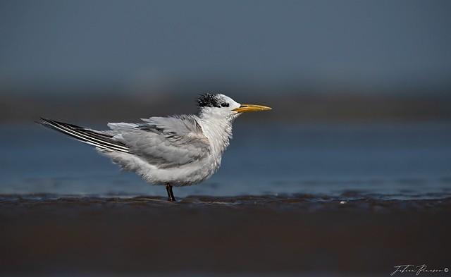 Gaviotin pico amarillo  -  Sandwich Tern