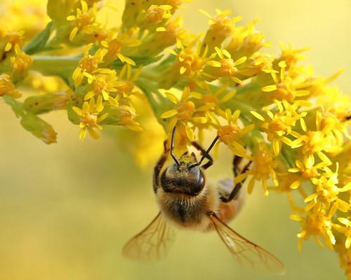 Honey Bee in Goldenrod