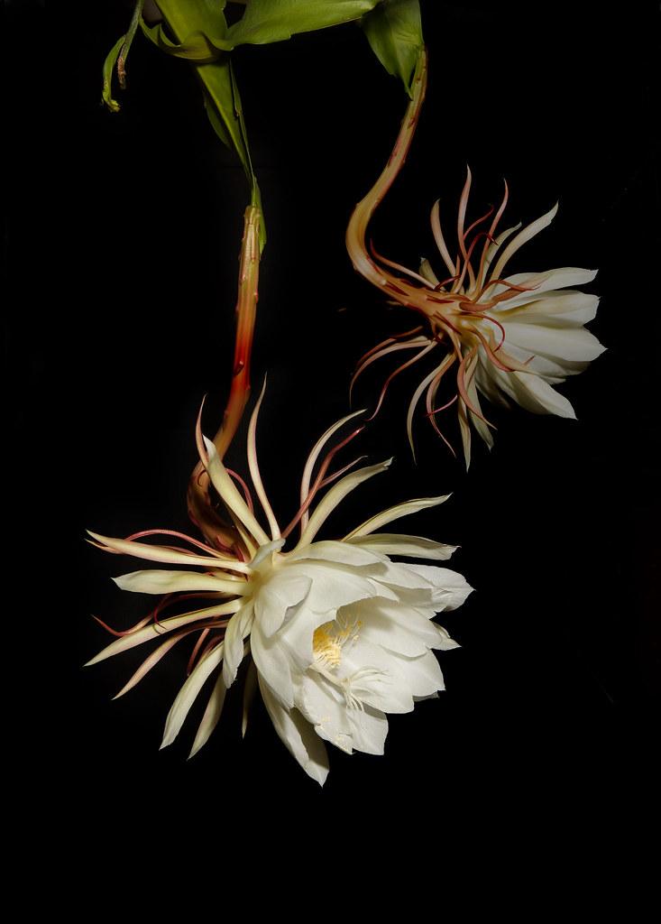 A29C0471  Epiphyllum oxypetalum