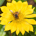 Yellow Coastal Gazania Flower and Honey Bee
