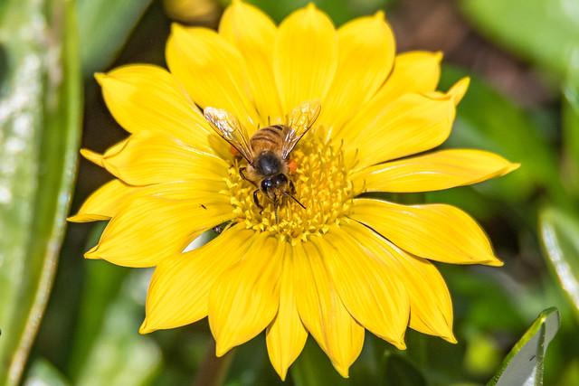 Yellow Coastal Gazania Flower and Honey Bee