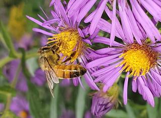 Honey Bee Feeding On A Purple Aster Flower. Macro Taken With A Samsung S10 Smart Phone 20190919_130848
