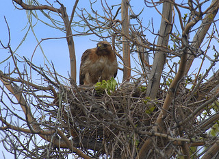 Red-tailed Hawk  with chick in nest