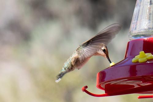 Sparkling eye of a Calliope hummingbird