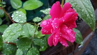 Reddish-Pink Rose with Raindrops