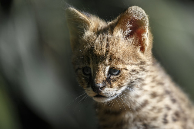 Serval-Baby