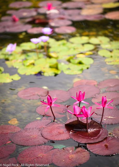Formal Lilly Pond