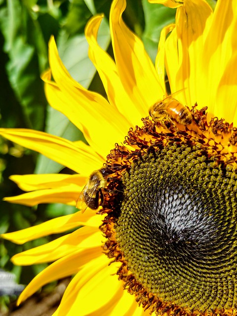The sun returned this afternoon and made the Bees very happy. I captured them in what is left of the Sunflower garden in VanDussen Gardens.