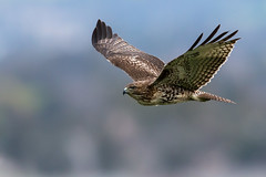 Young Red-tailed Hawk in Flight