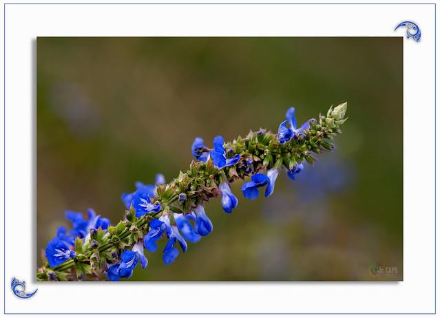 """Salvia uliginosa : """" Soyez donc fleur bleue... Vous vous faites cueillir ! """" De Henri Jeanson"""