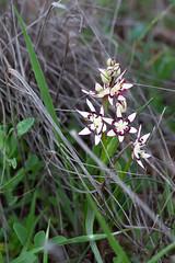 Wurmbea dioica sp