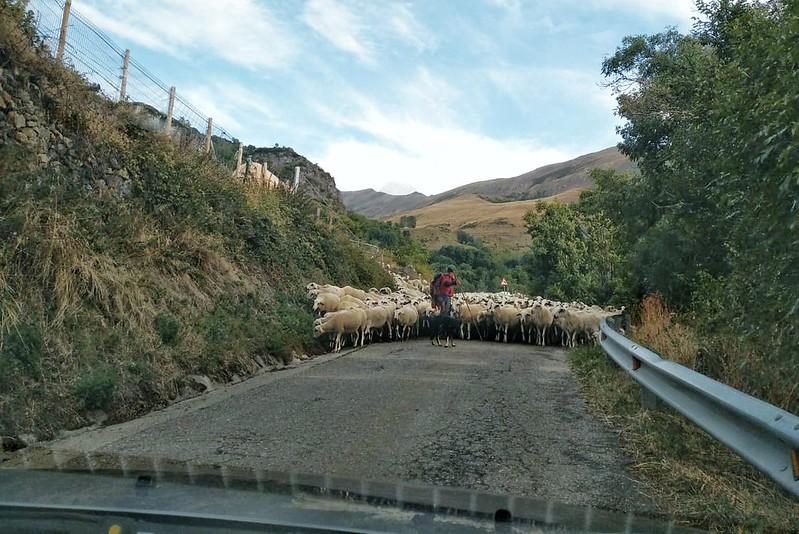 Ovejas bloqueando la carretera de Durro