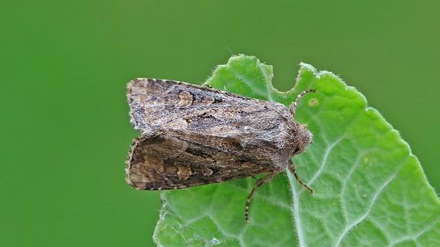 Flounced Rustic - Luperina testacea