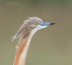 Squacco Heron - Ardeola ralloides